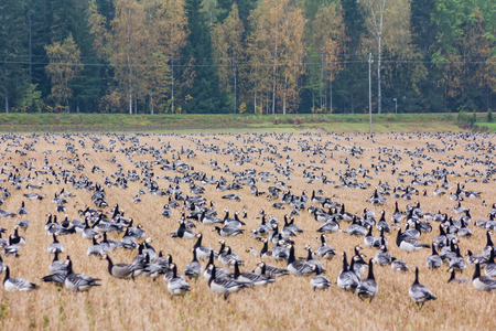 A big flock of barnacle gooses -Branta leucopsis are sitting on a field. Birds are preparing to migrate south.