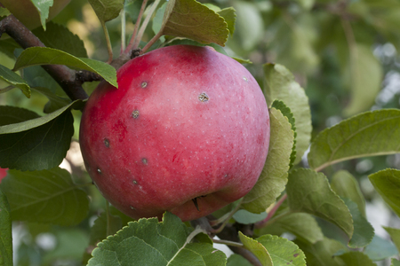 Red apple with scab growing on tree. Stock Photo