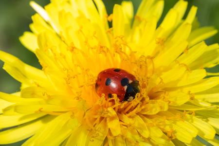 Red ladybug on dandelion flower macro close-up
