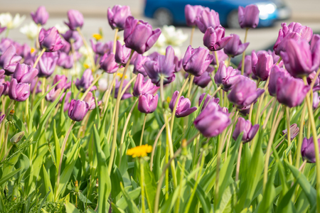 Violet tulip flowers on flowerbed in city park Stock Photo