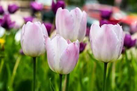Violet tulip flowers on flowerbed in city park