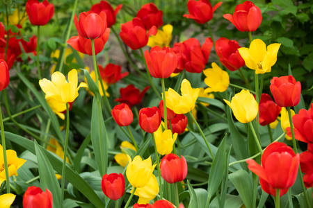 Red and yellow tulip flowers on flowerbed in city park