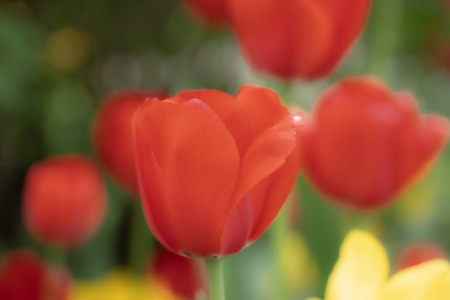Red tulip flower on flowerbed in city park Stock Photo