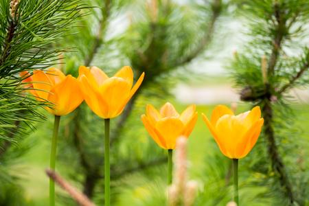 Orange tulip flowers on flowerbed in city park Stock Photo