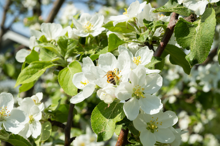 Honey bee pollinating apple blossom in spring garden 免版税图像