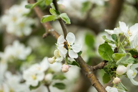 Honey bee pollinating apple blossom in spring garden Banco de Imagens