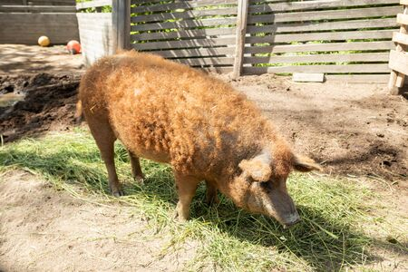Wool pig in the zoo at summer