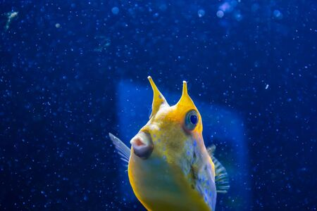 Longhorn cowfish, latin name Lactoria cornuta, also called the horned boxfish. Its primary habitat is coral reefs in lagoons, on reef flats