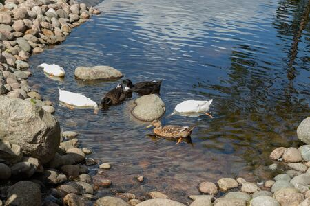 Three types of ducks walk by the pond. White, black, brown duck Foto de archivo