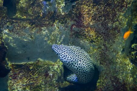 Laced moray, also known as the leopard moray. Stock Photo
