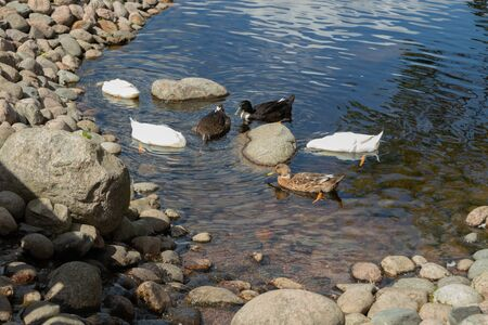 Three types of ducks walk by the pond. White, black, brown duck Stock Photo