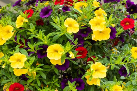 Calibrachoa or bell flower, Flower of a cultivated Million bell, Calibrachoa x hybrid