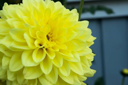Beautiful yellow dahlia Gallery Serenade flower in summer garden