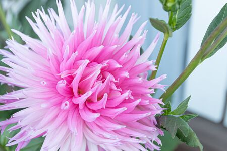 Beautiful pink dahlia Park Princess flower in summer garden