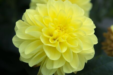 Beautiful yellow dahlia Gallery Serenade flower in summer garden
