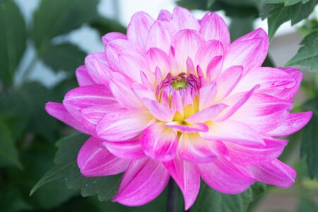 Beautiful pink dahlia Bitsy flower in summer garden