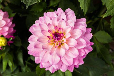 Bella dalia rosa Karma Prospero fiore nel giardino estivo