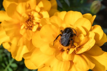 Close-up of bumblebee collecting pollen from a yellow marigold flower at summer Banco de Imagens