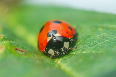 Roter Marienkäfer auf einem grünen Blatt im Garten