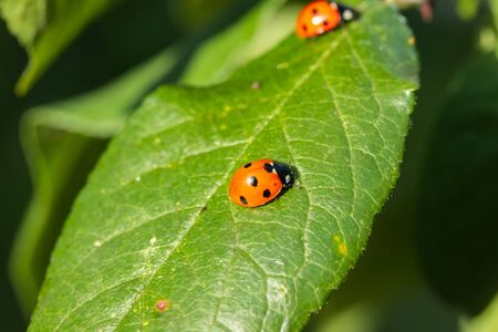 Two red ladybugs on a green leaf in the garden