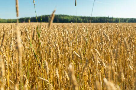 Campo de trigo en la granja en el soleado día de otoño