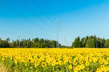 Field of blooming sunflowers on a background of blue sky Zdjęcie Seryjne
