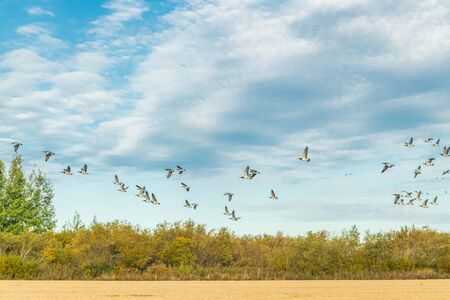 A big flock of barnacle gooses is flying above the field. Birds are preparing to migrate south. Stock fotó