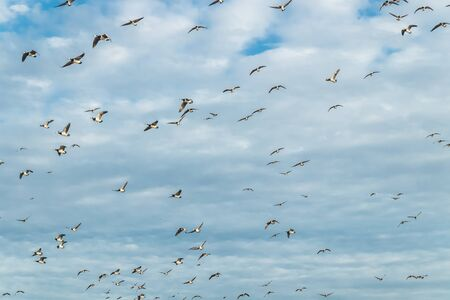 A big flock of barnacle gooses is flying in the sky. Birds are preparing to migrate south. Stock fotó