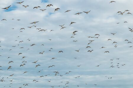 A big flock of barnacle gooses is flying in the sky. Birds are preparing to migrate south. 版權商用圖片