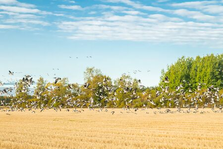 A big flock of barnacle gooses is sitting on a field and flying above it. Birds are preparing to migrate south.