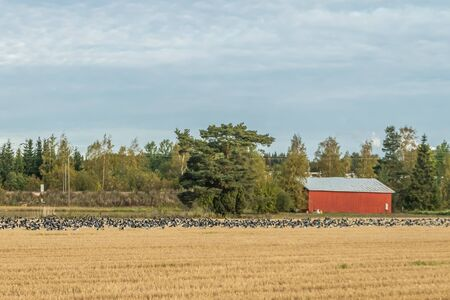 A big flock of barnacle gooses is sitting on a field. Birds are preparing to migrate south. Stock fotó
