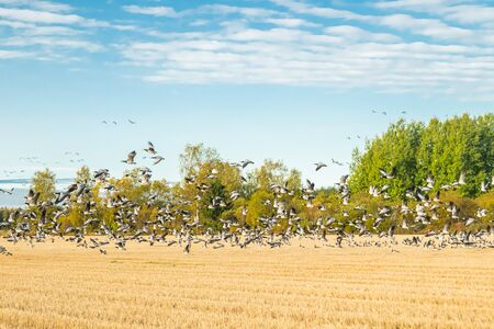 A big flock of barnacle gooses is sitting on a field and flying above it.