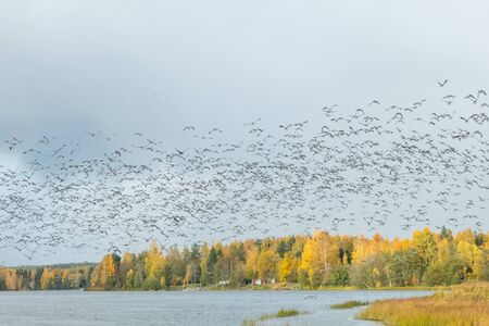 A big flock of barnacle gooses is flying above the river Kymijoki. Birds are preparing to migrate south. Stock fotó