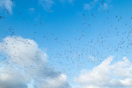 A big flock of barnacle gooses is flying on a blue sky background. Birds are preparing to migrate south.