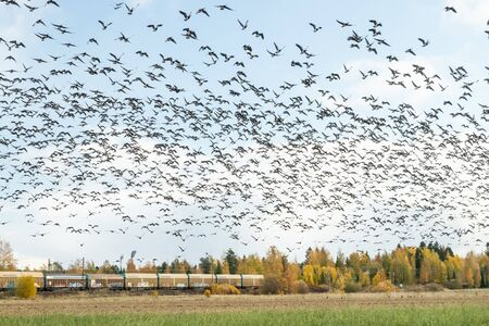 Kouvola, Finland - 5 October 2019: A big flock of barnacle gooses is flying above the field on train background. Birds are preparing to migrate south. Stock Photo