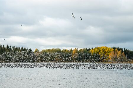 A big flock of barnacle gooses is taking off from the river Kymijoki. Birds are preparing to migrate south. Stock Photo