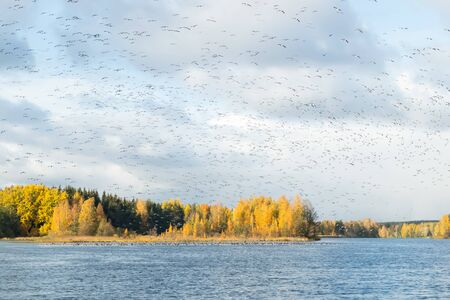 A big flock of barnacle gooses is flying above the river Kymijoki and sitting on water. Birds are preparing to migrate south. Stock Photo