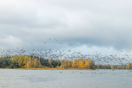 A big flock of barnacle gooses is taking off from the river Kymijoki. Birds are preparing to migrate south. Stock fotó