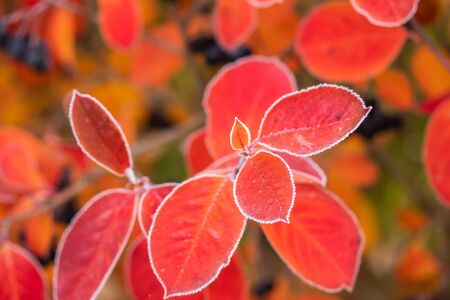 Beautiful red aronia leaves with a frosty edge.