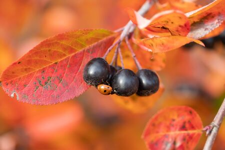 Branches with ladybug on black berries and red leaves of chokeberry in autumn.
