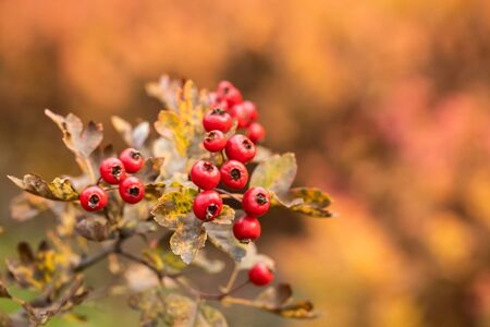 Hawthorn berries in the garden at autumn day Stock fotó