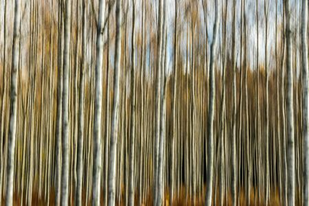Abstract blurred photo of birch grove in autumn. Motion blur.