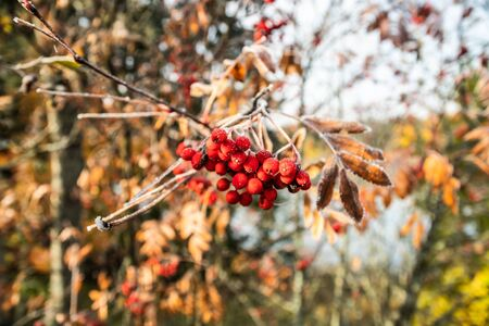 The frozen berries and leaves of rowan at sunny autumn morning