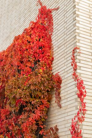 Brick wall with Parthenocissus quinquefolia at autumn