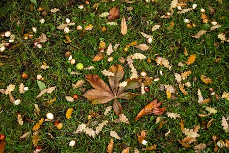 Opened horse chestnut shells and leaves and oak leaves on the green grass.
