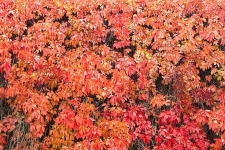 Natural background shapes and textures of Parthenocissus quinquefolia on the wall at autumn Stock fotó