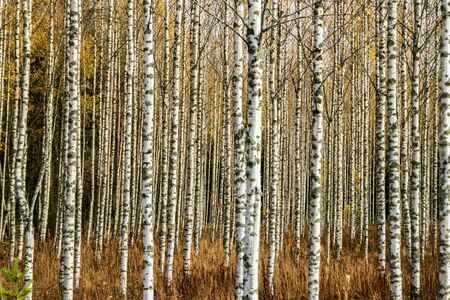 Grove of birch trees with yellow leaves in autumn Stock fotó