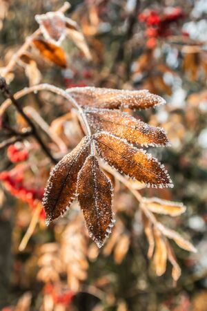 The frozen leaves of rowan at sunny autumn morning