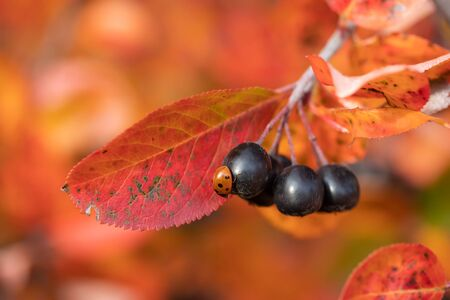 Branches with ladybug on black berries and red leaves of chokeberry in autumn. Stock fotó - 135153237