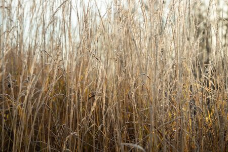 Frozen dry grass at sunny autumn morning. Bokeh effect.